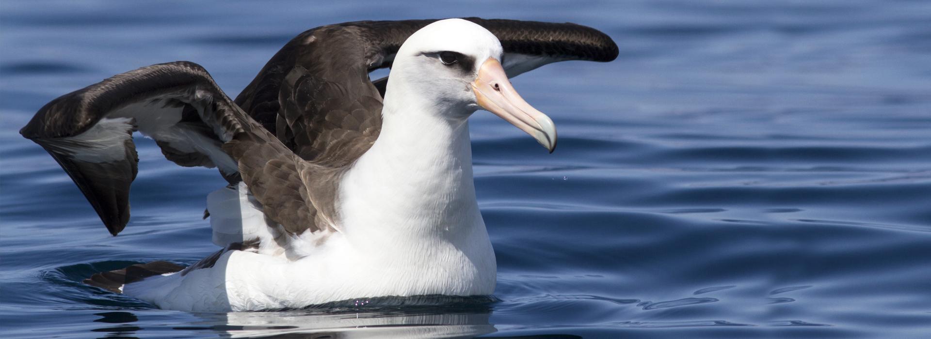 laysan-albatross_dmytro-pylypenko_ss